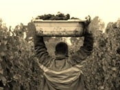 Hand-Picked Grapes 'Compulsory' for Burgundy Wine