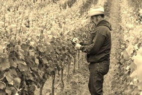 """These are grape vines Mr Tigner.....we make wine from them....."""