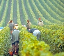 Hand-harvesting grapes for Champagne.