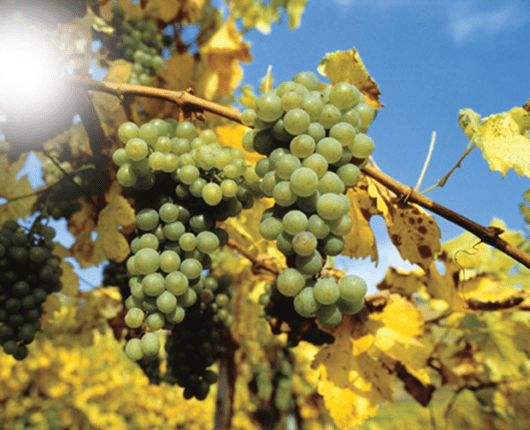 gruner-veltiner-grapes