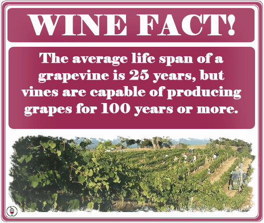 wine-fact-age-of-vines